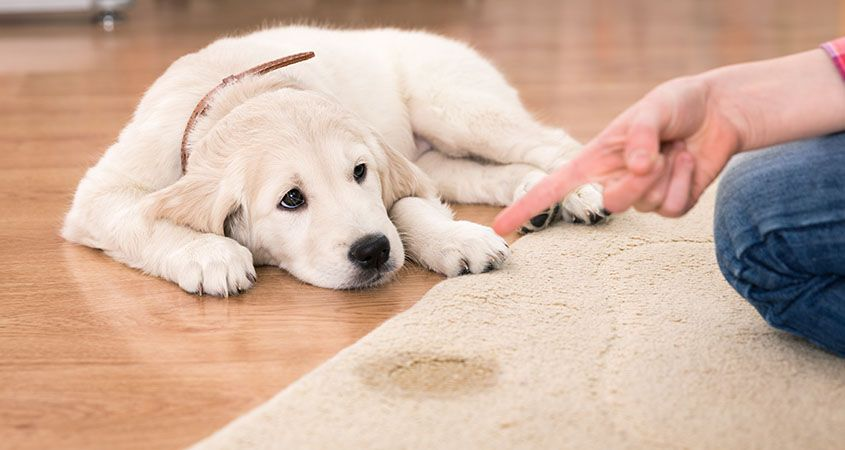 How to remove a pet stain from a rug